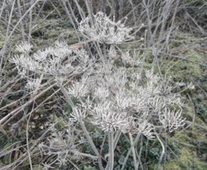 frozen seed heads